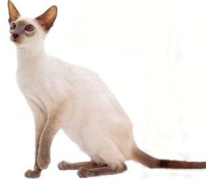 sijamska macka