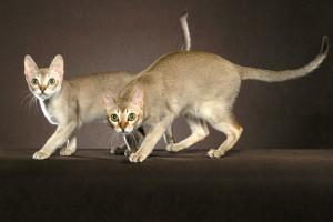 singapurska mačka