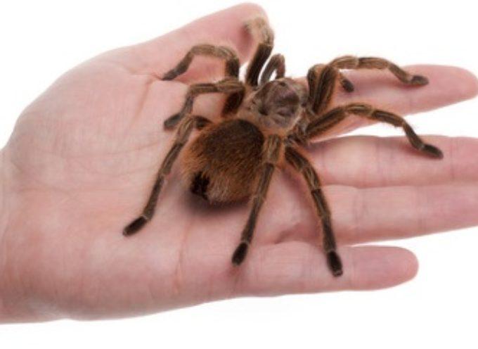 Tarantula – egzotičan ljubimac