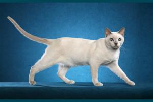 tokinška mačka