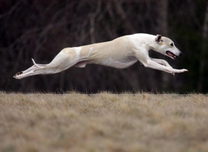 Sedam najbržih rasa pasa