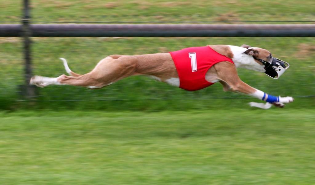 Greyhound_Racing_amk
