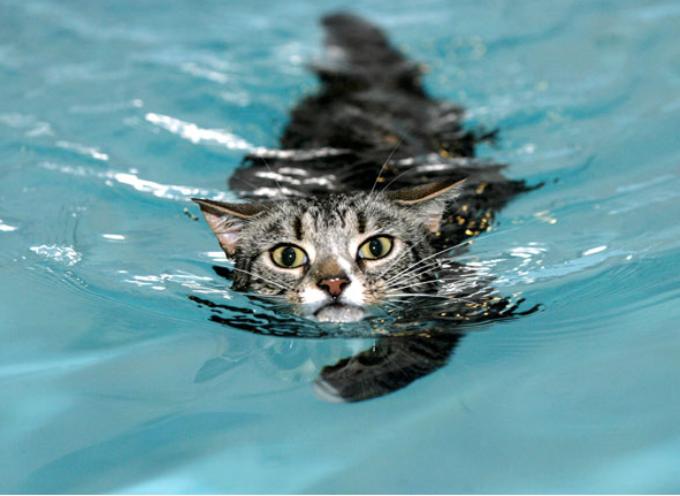Šest rasa mačaka koje vole vodu