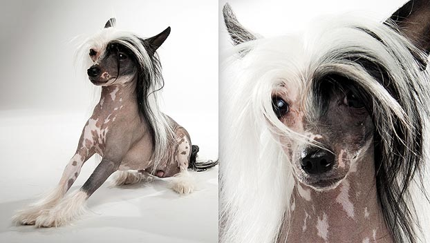 chinese-crested-dog_03_lg