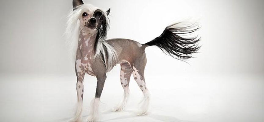 Kineski ćubasti pas – jedinstven, graciozan i druželjubiv