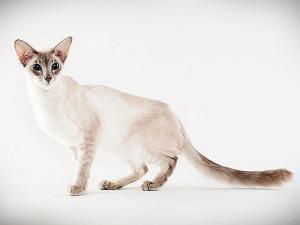 javanska mačka
