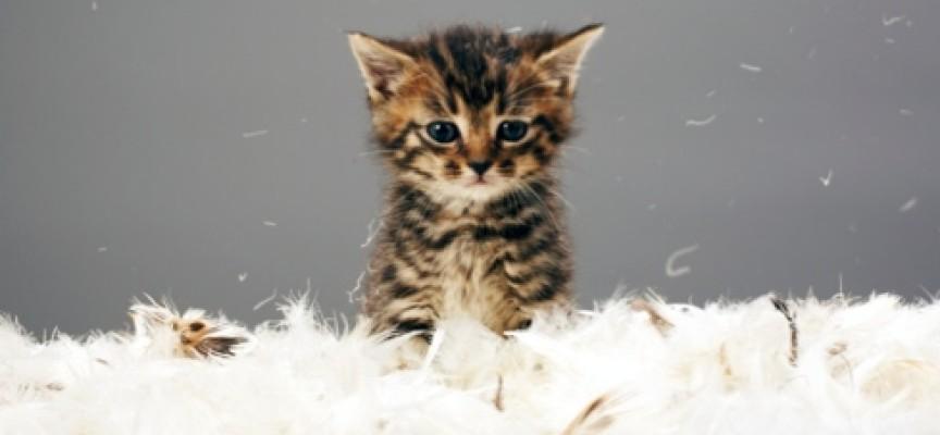 10 rasa mačaka koje se preporučuju osobama sa alergijama