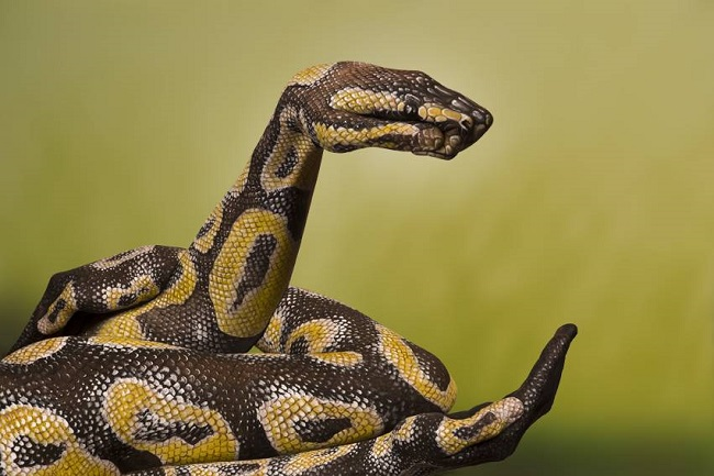 Python-Royal_hand_painting_Guido_Daniele-normal
