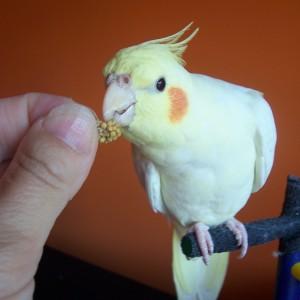 nagarada za trud papagaj