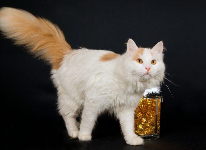 Turska van – mačka koja voli da pliva