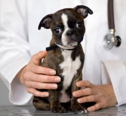 1 vet-and-puppy-255px