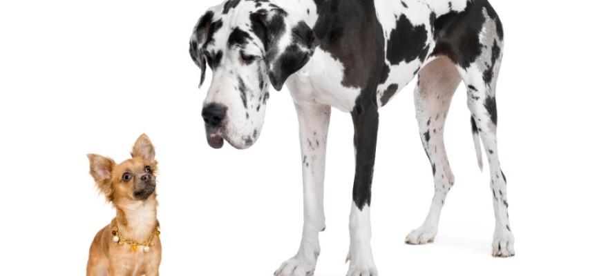 Životni vek pasa: Zašto male rase žive duže od velikih?