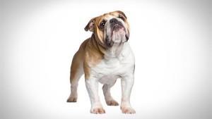 bulldog_01_lg
