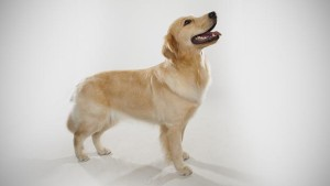 golden-retriever_01_lg