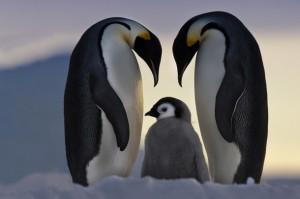 42821_penguin-family_ov6heons5l34jtainiivhu6ox7ncurxrbvj6lwuht2ya6mzmafma_610x406