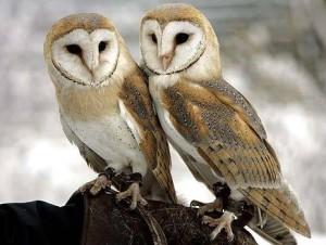 barn-owl-19