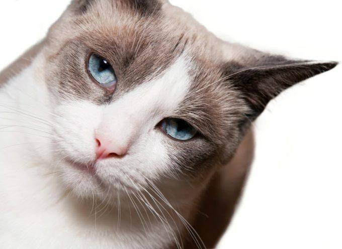 Snowshoe mačka – uvek posebna i nikada dosadna
