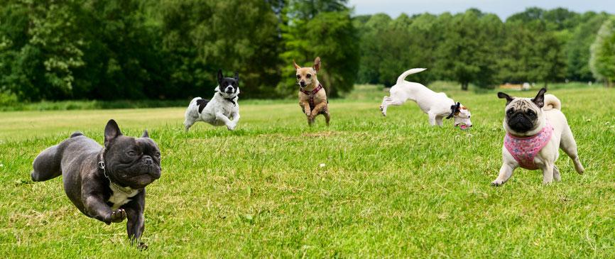 psi druzenje
