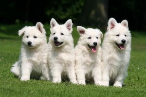 White_Swiss_Shepherd_Dog_600