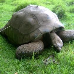 najstarija životinja kornjaca džonotan