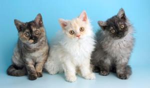 selkirk reks macici