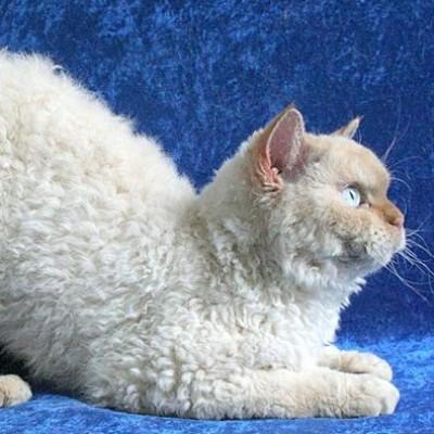 Selkirk reks – mačka u ovčijoj koži