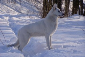 white-swiss-shepherd-dog-standard-12
