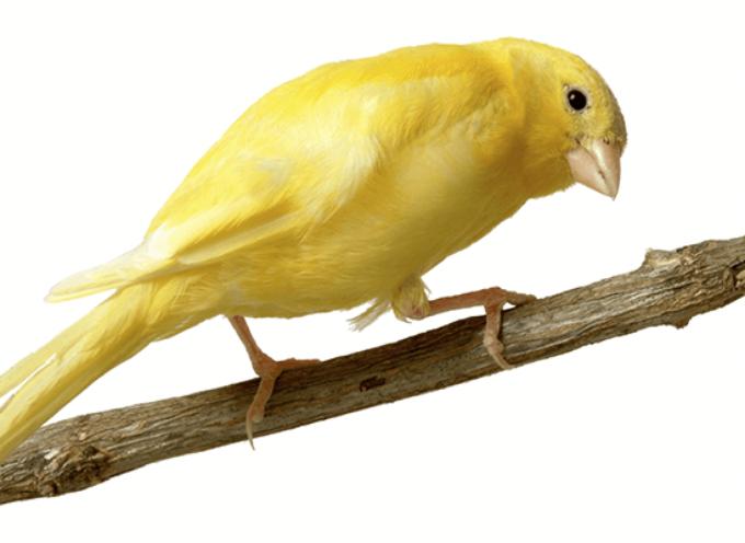 Malino kanarinac – ljubimac najboljeg glasa