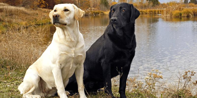 Labrador 2