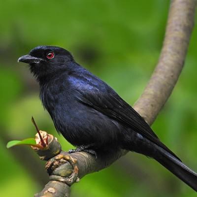 Afrička ptica Drongo – verni drugar i vešti manipulator