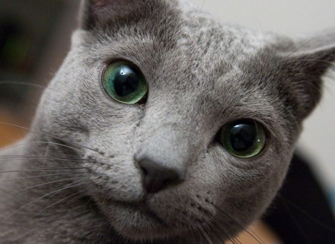 5 stvari koje (ne) znate o Ruskoj plavoj mački