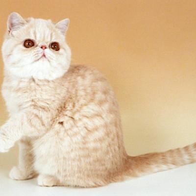 Egzotična kratkodlaka mačka– jednostavno neodoljiva