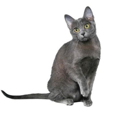 Korat mačka – Graciozna lepotica Dalekog istoka. Simbol prosperiteta i sreće