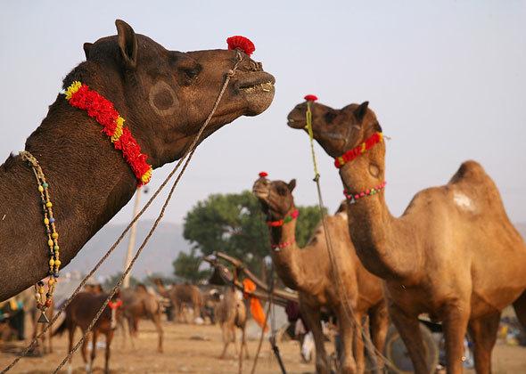 puskar festival kamila
