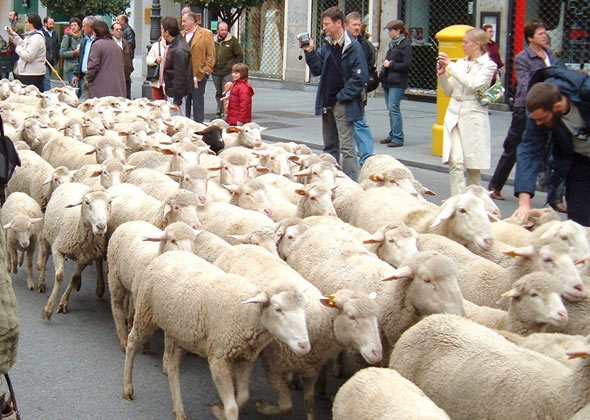 ovce madrid