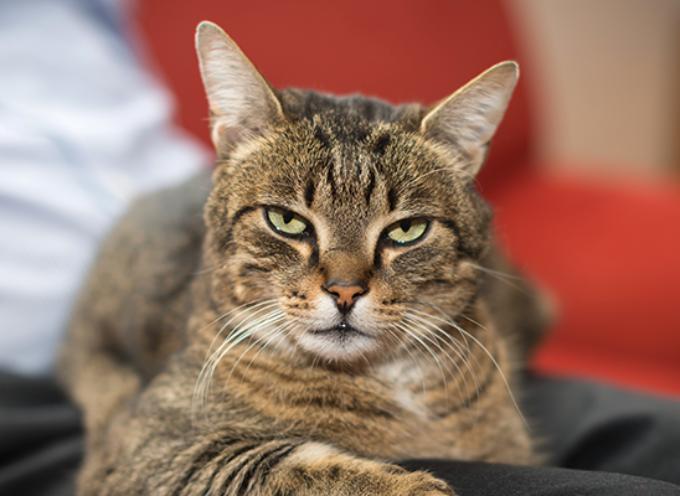 Kako očistiti mački uši?