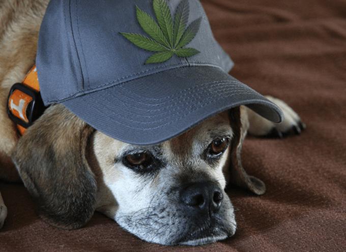 Marihuana kao prirodni lek za pse (infografika)